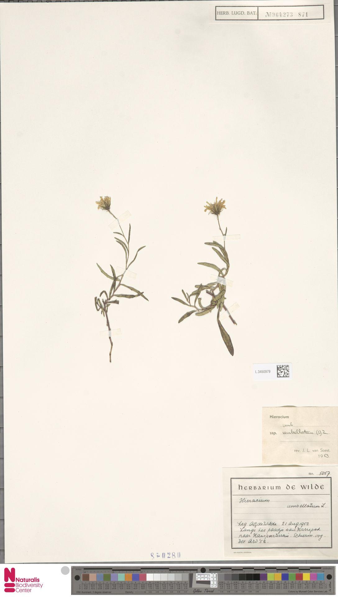 L.3450979 | Hieracium umbellatum subsp. umbellatum Zahn