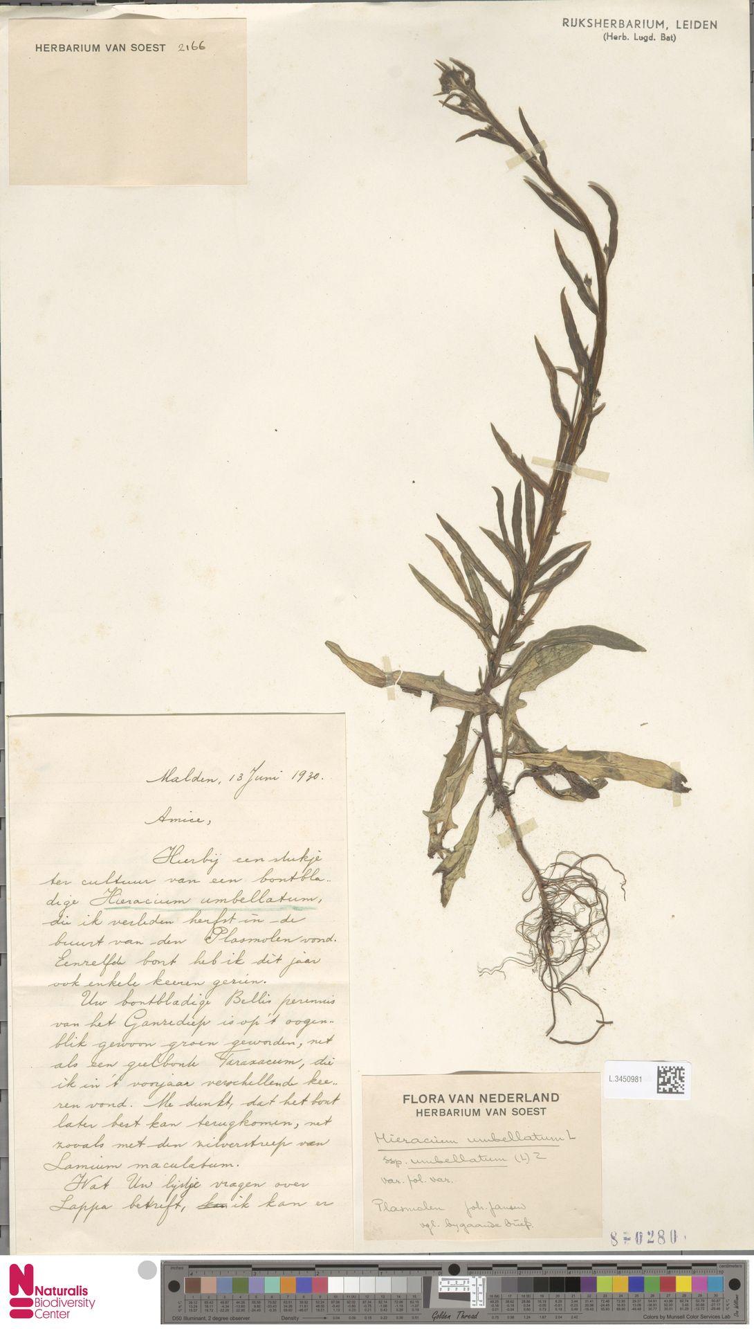 L.3450981 | Hieracium umbellatum subsp. umbellatum Zahn