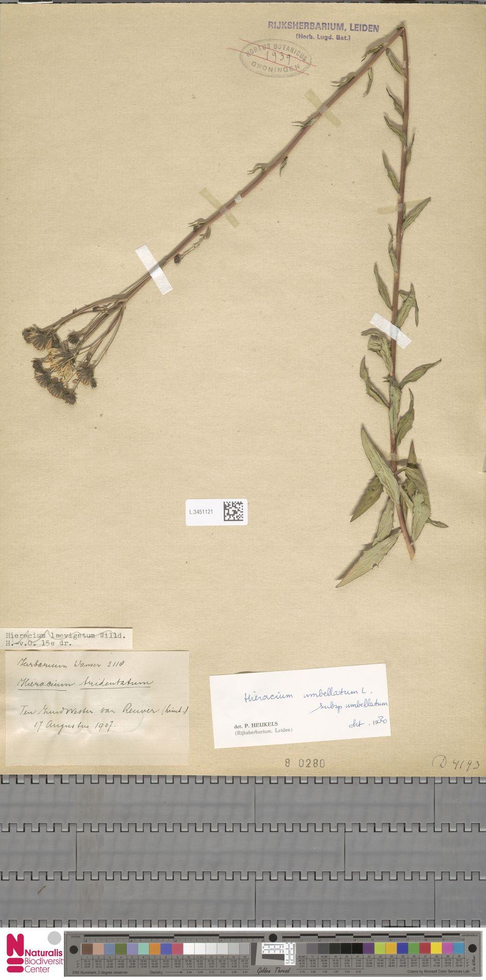 L.3451121   Hieracium umbellatum subsp. umbellatum Zahn