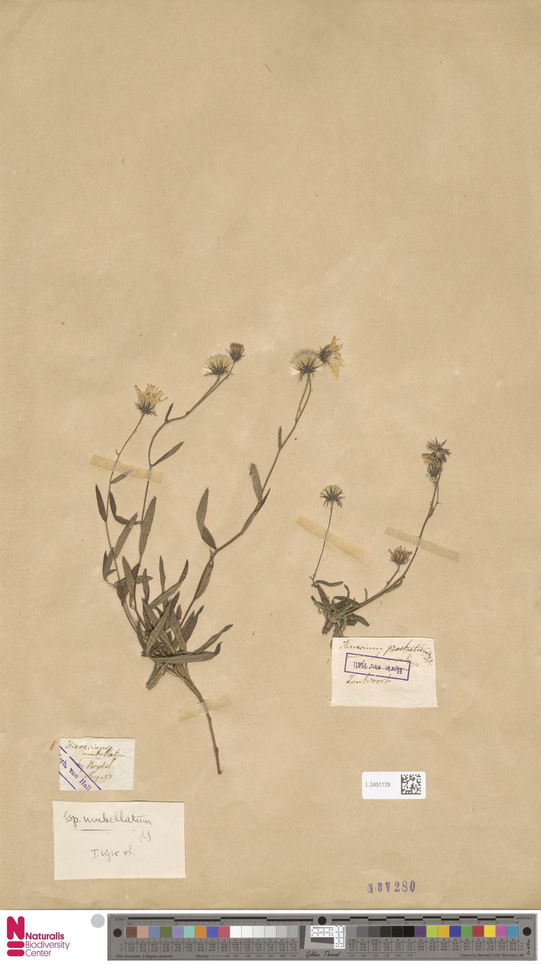 L.3451128 | Hieracium umbellatum subsp. umbellatum Zahn