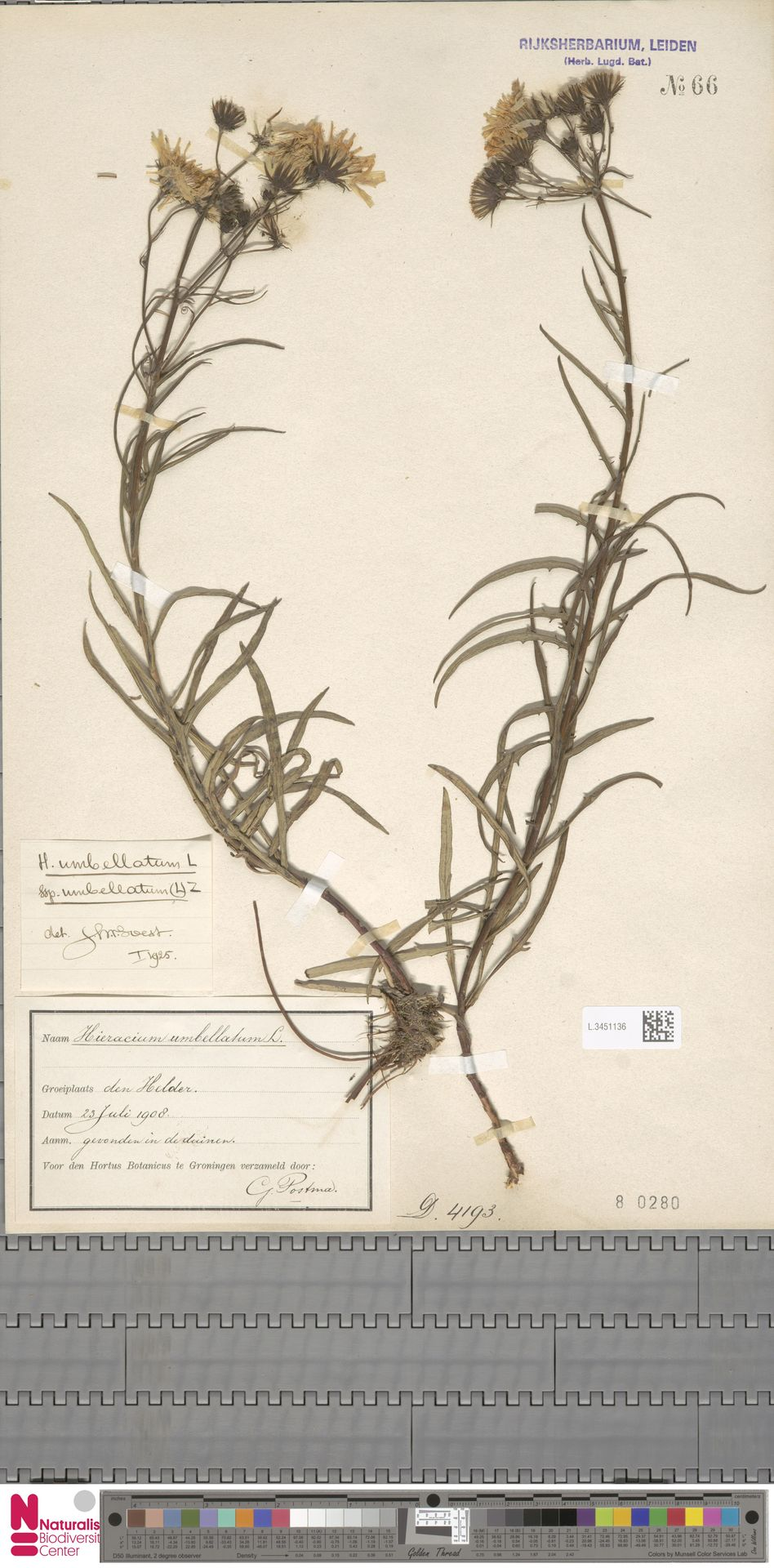 L.3451136 | Hieracium umbellatum subsp. umbellatum Zahn