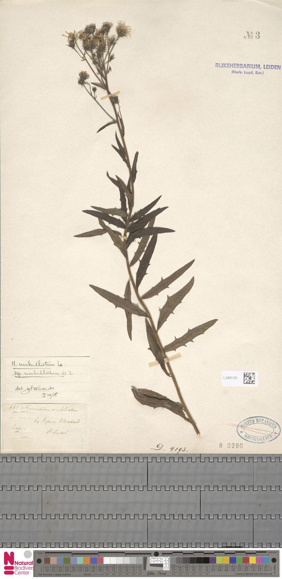 L.3451137 | Hieracium umbellatum subsp. umbellatum Zahn