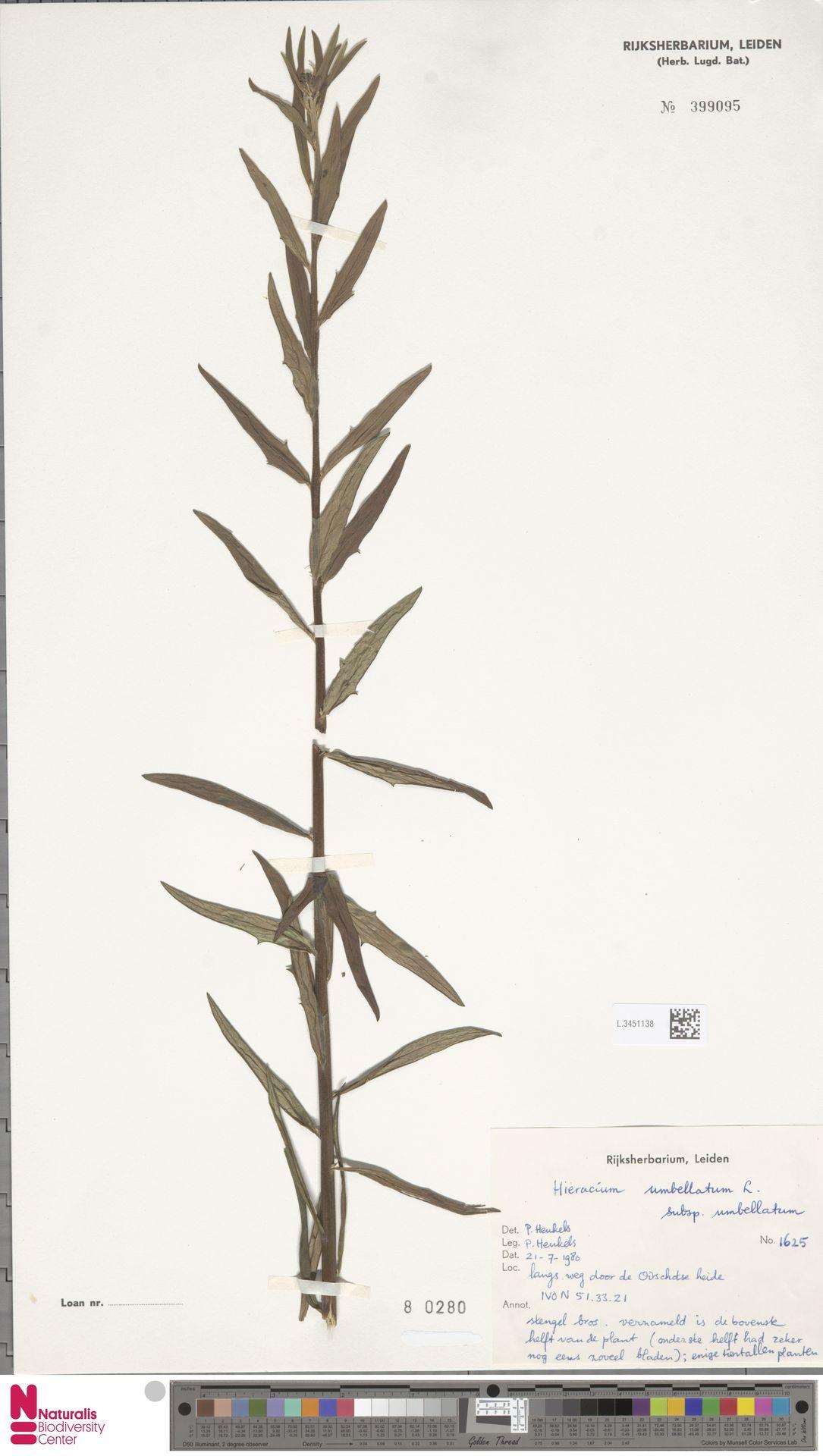 L.3451138 | Hieracium umbellatum subsp. umbellatum Zahn