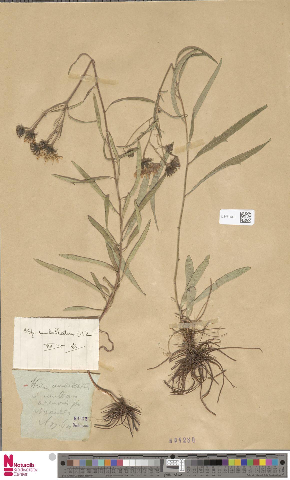 L.3451139 | Hieracium umbellatum subsp. umbellatum Zahn