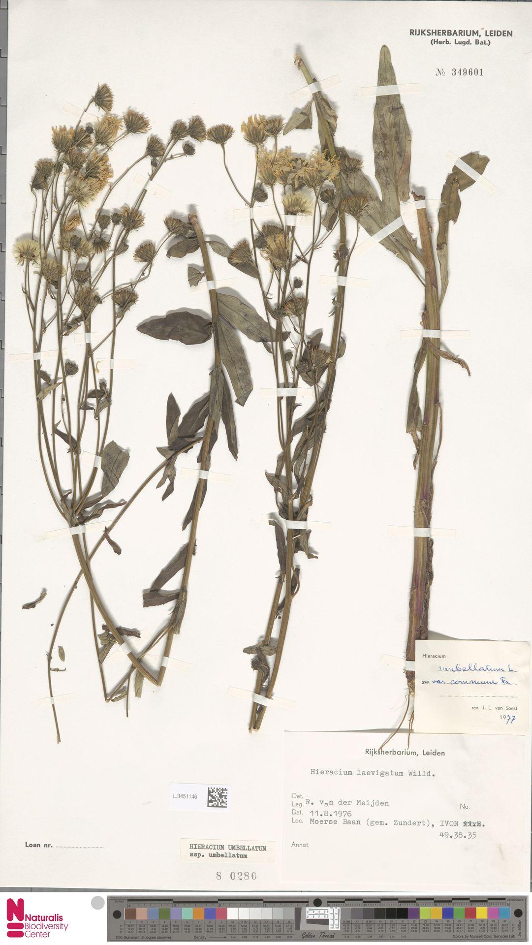 L.3451146 | Hieracium umbellatum subsp. umbellatum