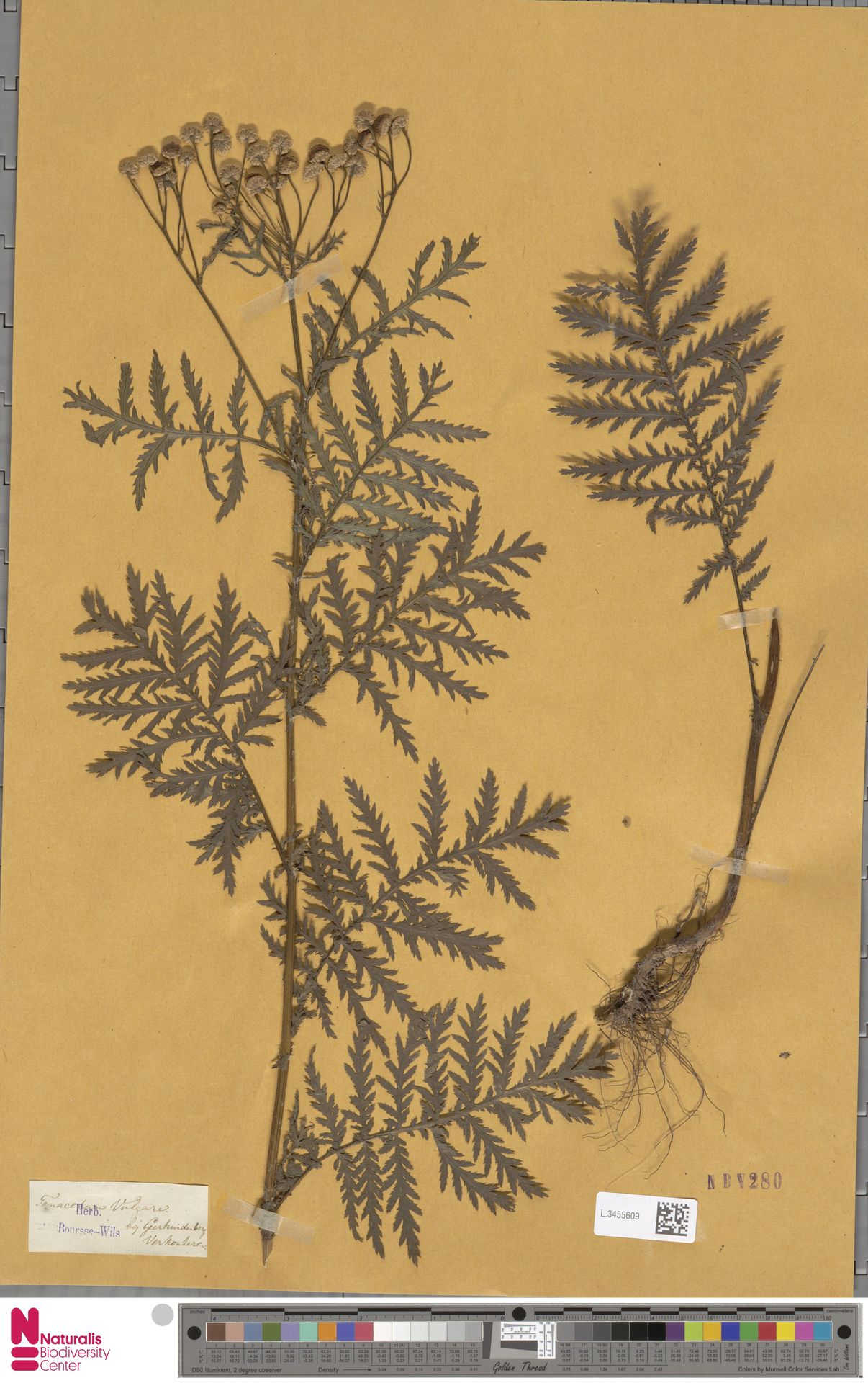L.3455609 | Tanacetum vulgare L.