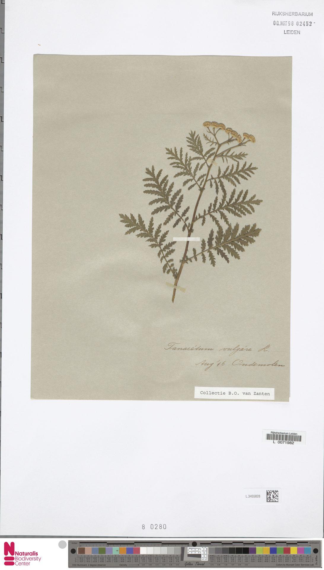 L.3455828 | Tanacetum vulgare L.