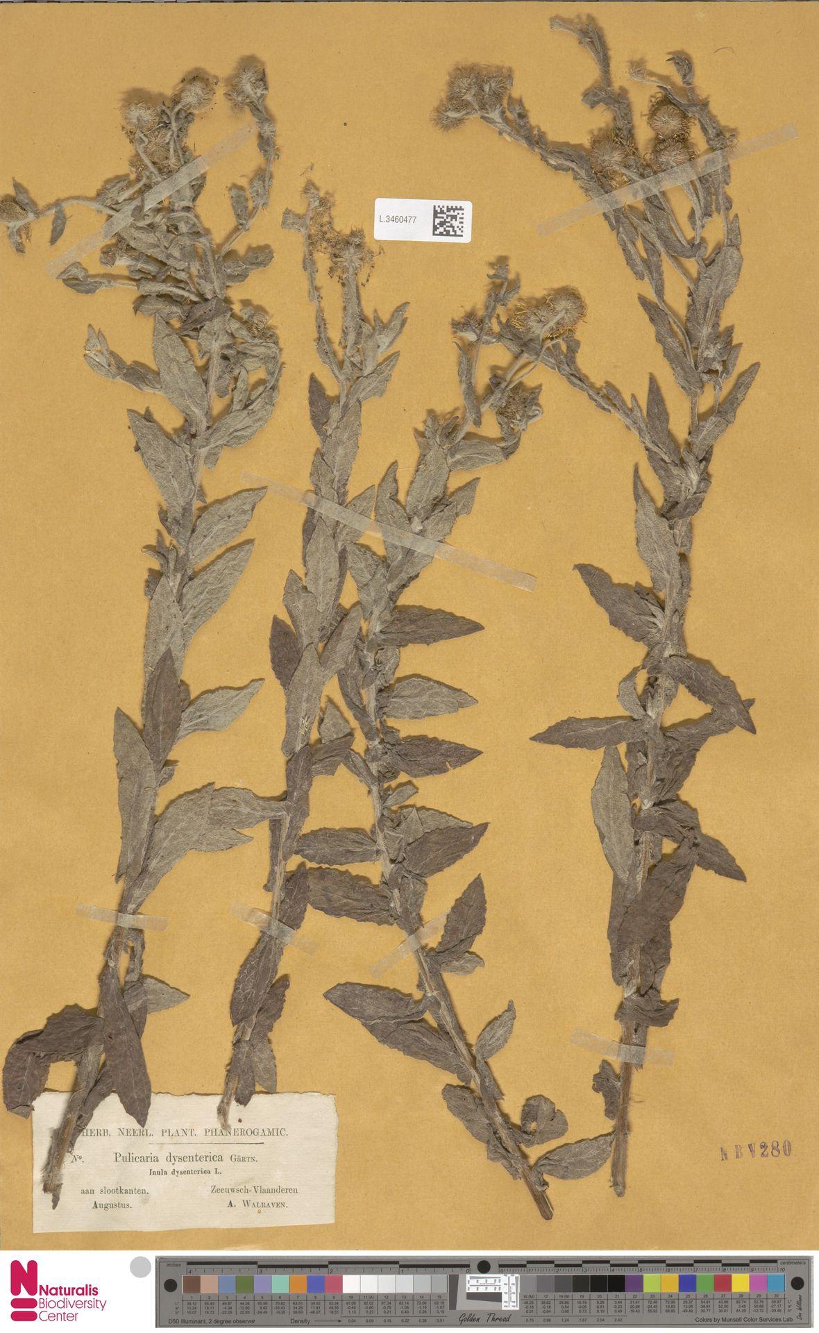 L.3460477 | Pulicaria dysenterica (L.) Bernh.