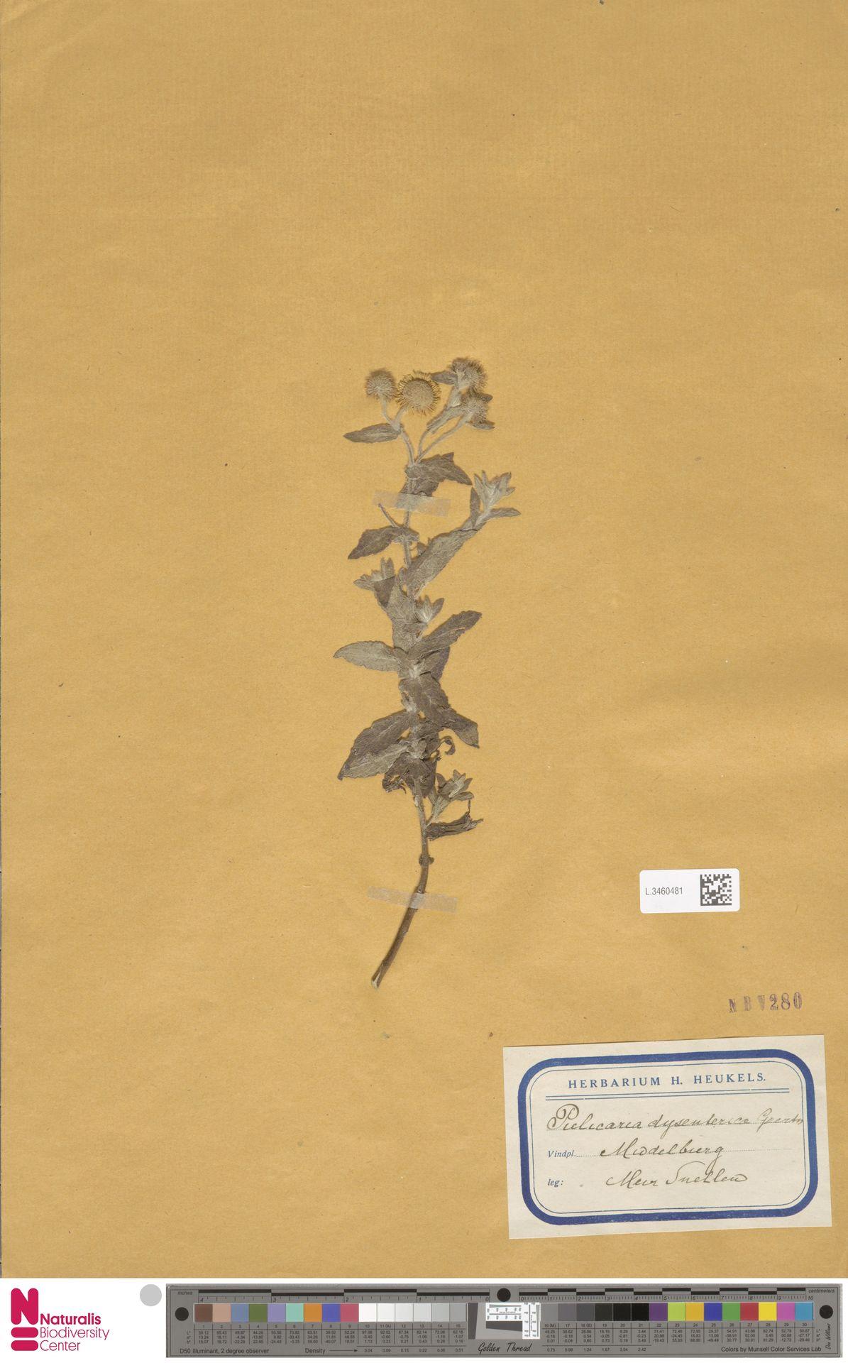 L.3460481 | Pulicaria dysenterica (L.) Bernh.
