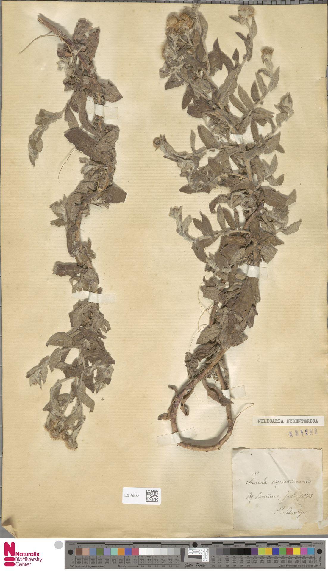 L.3460487 | Pulicaria dysenterica (L.) Bernh.