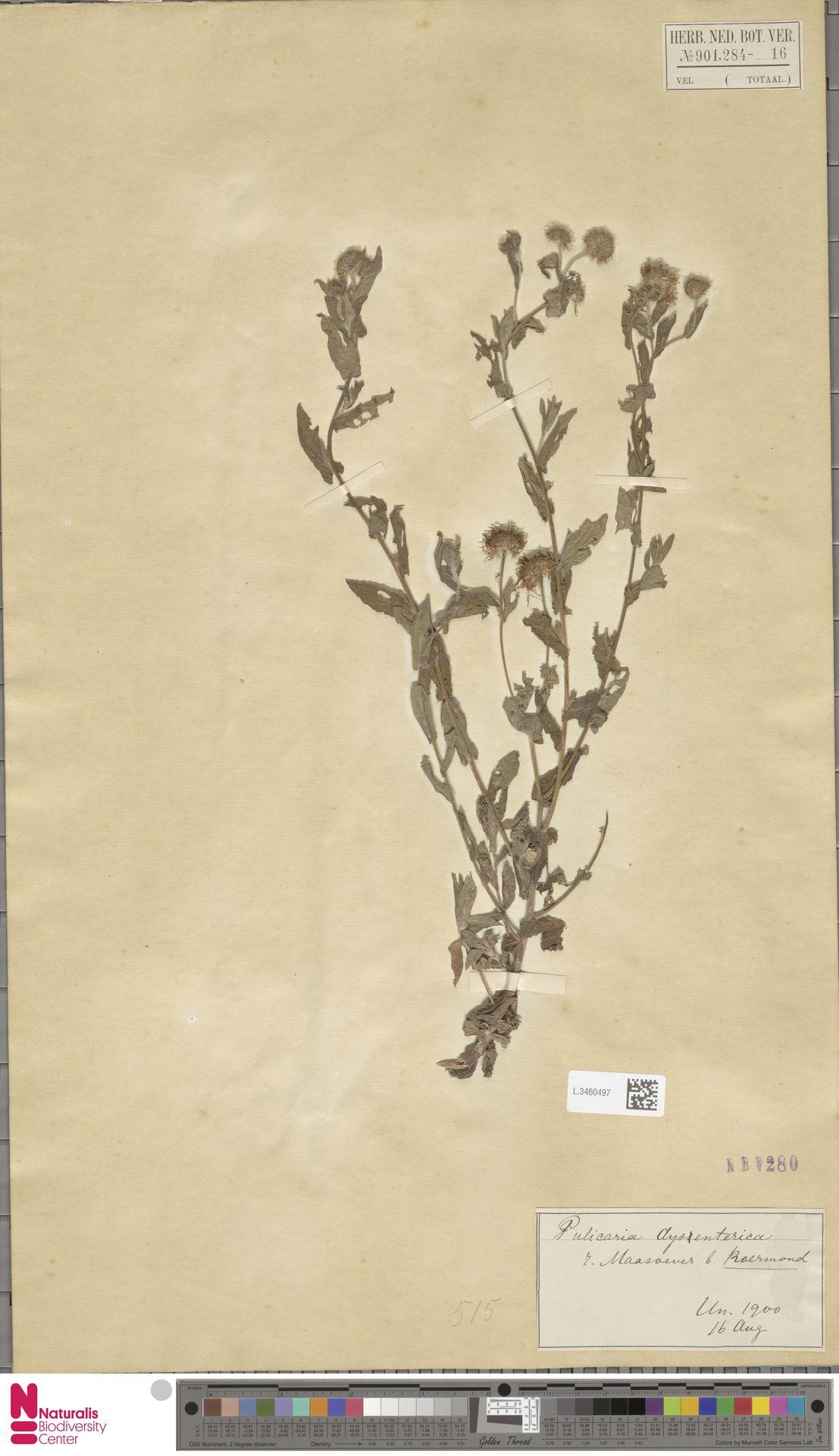 L.3460497 | Pulicaria dysenterica (L.) Bernh.