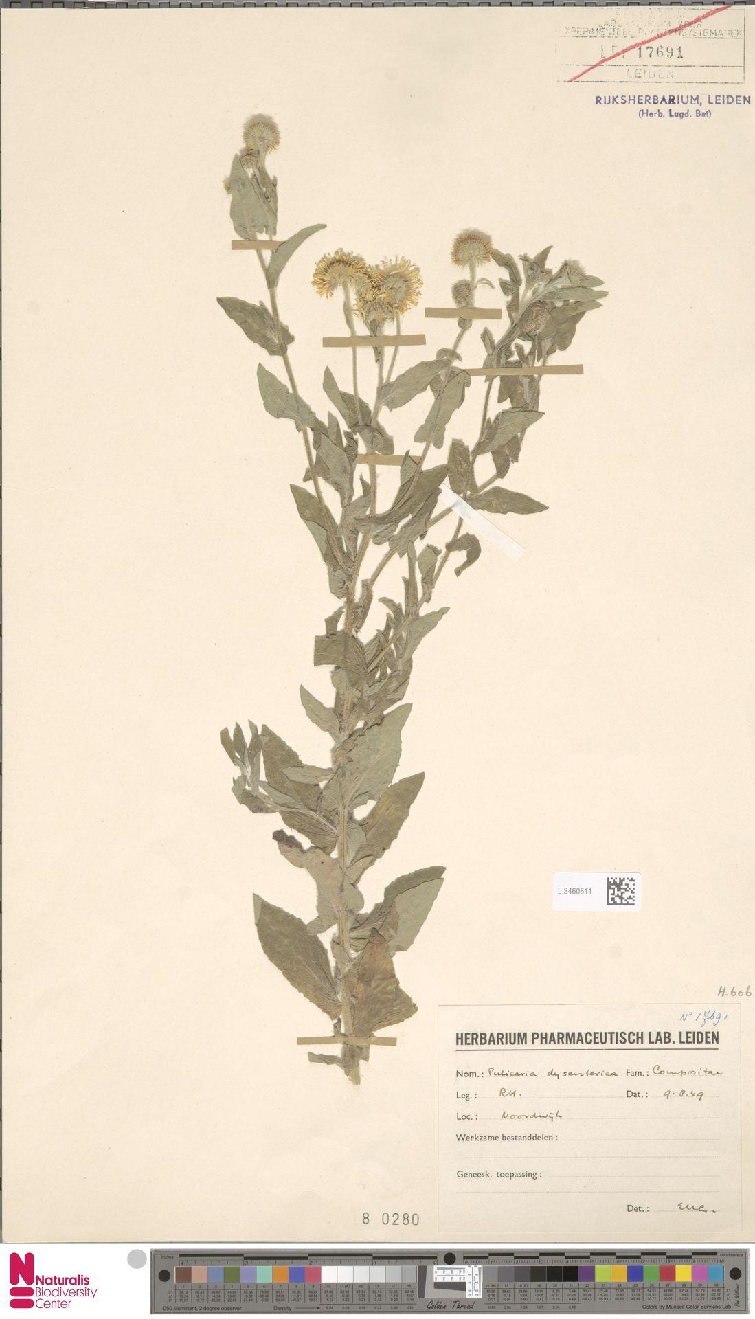 L.3460611 | Pulicaria dysenterica (L.) Bernh.
