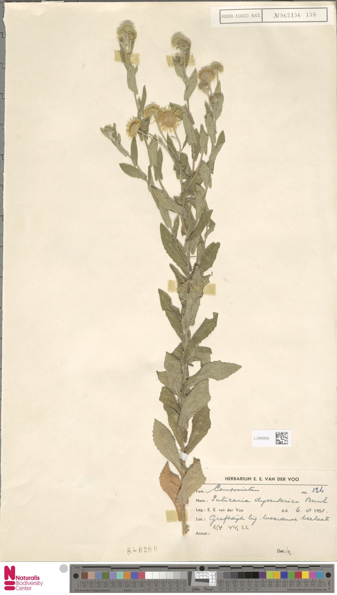 L.3460693 | Pulicaria dysenterica (L.) Bernh.