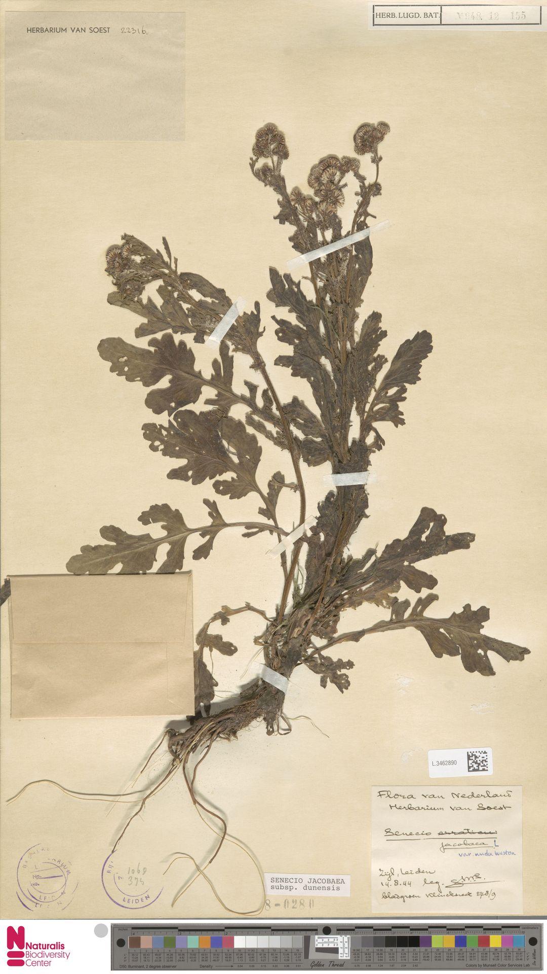 L.3462890 | Senecio jacobaea subsp. dunensis (Dumort.) Kadereit & P.D.Sell
