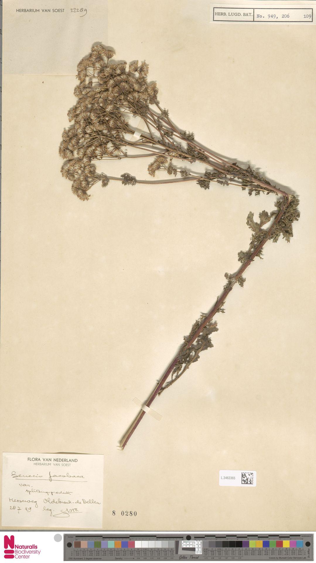 L.3463365 | Senecio jacobaea L.