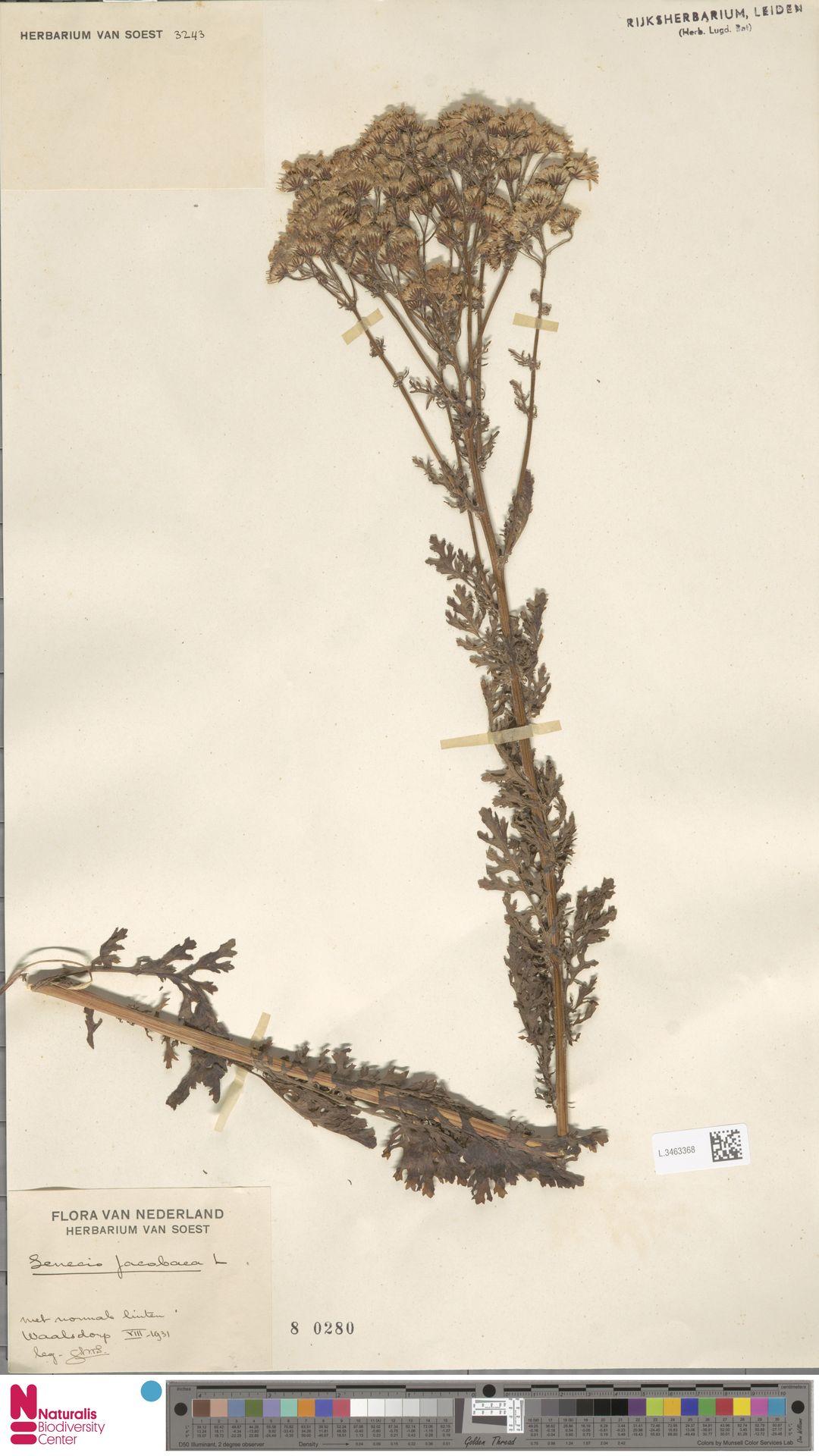 L.3463368 | Senecio jacobaea L.