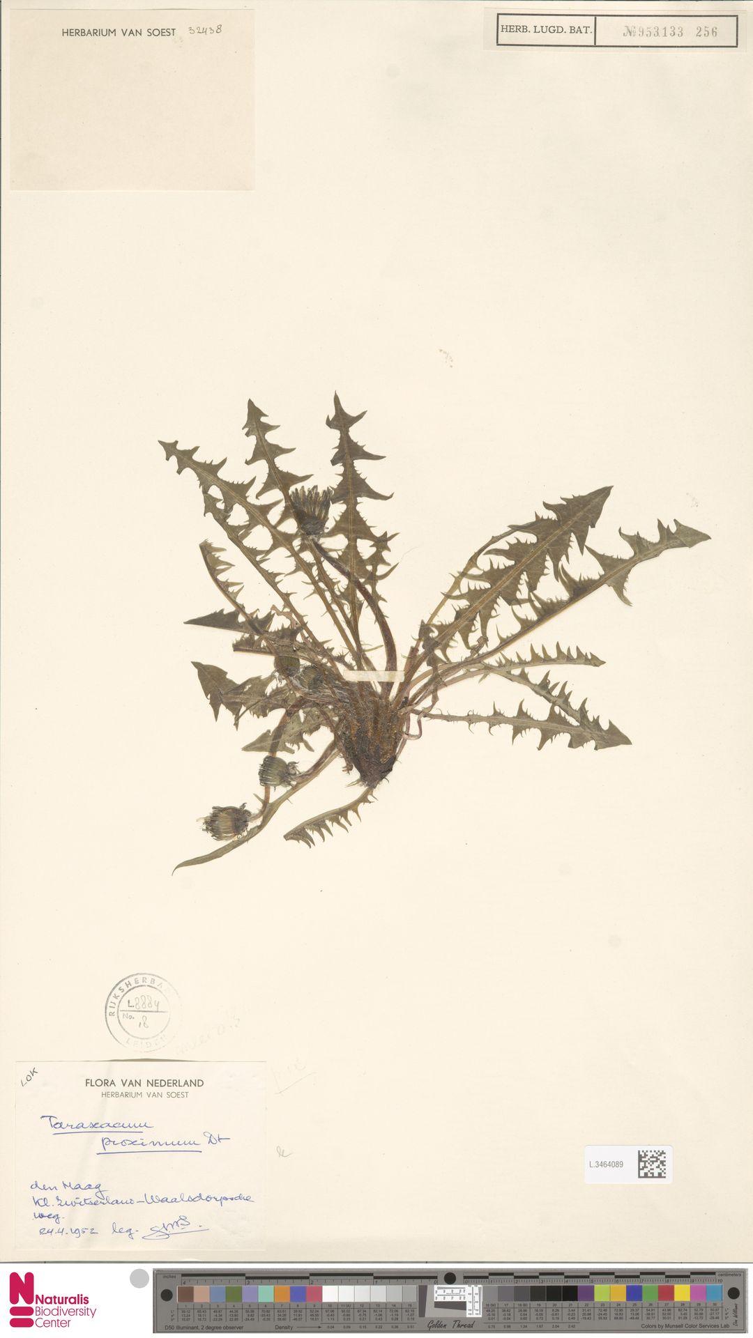 L.3464089 | Taraxacum proximum Dahlst.