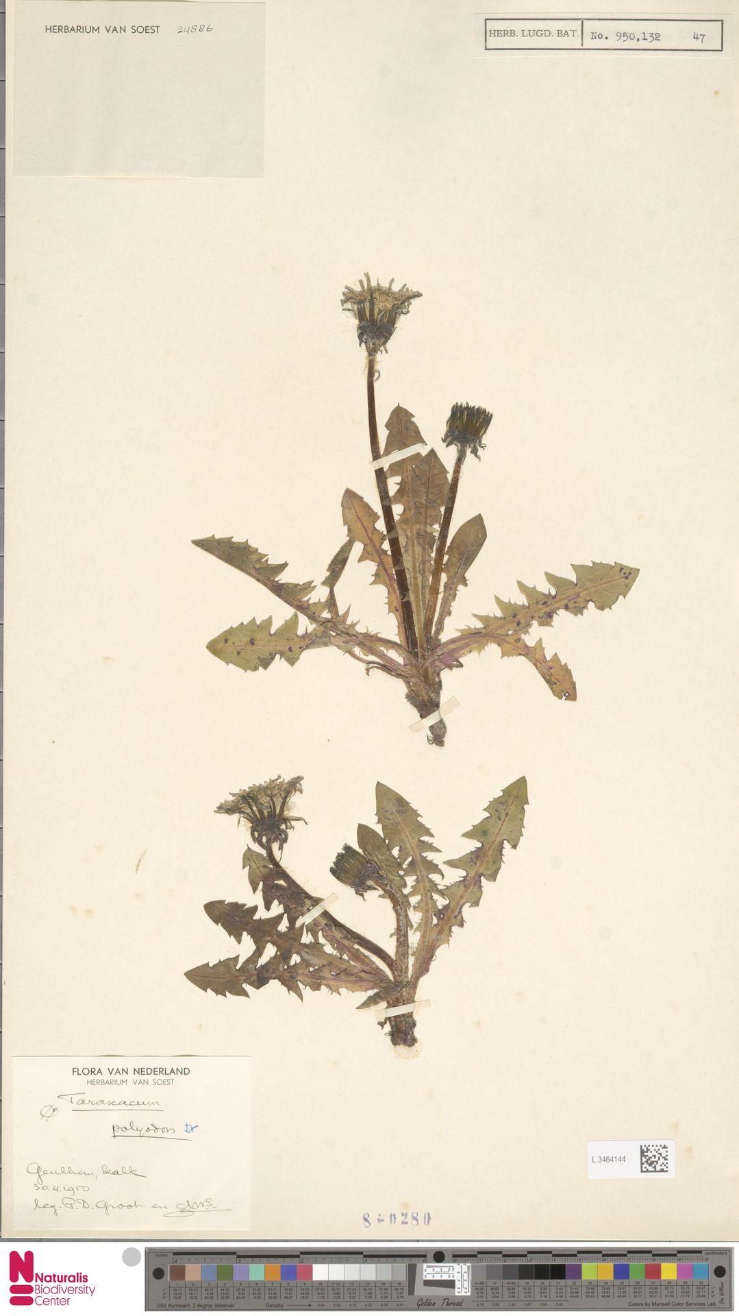 L.3464144   Taraxacum polyodon Dahlst.