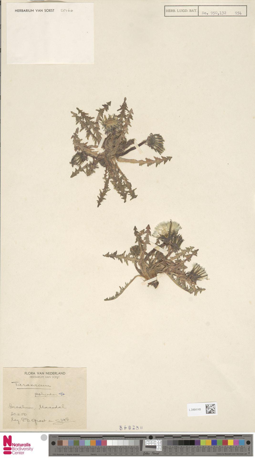 L.3464149 | Taraxacum polyodon Dahlst.