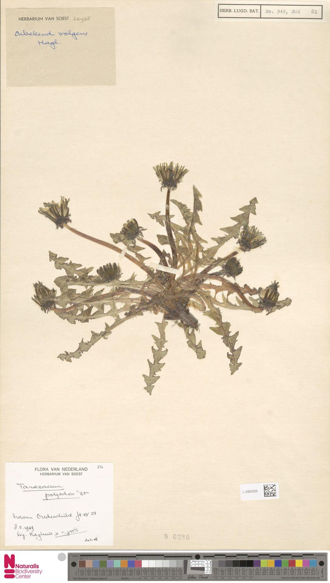 L.3464204 | Taraxacum polyodon Dahlst.
