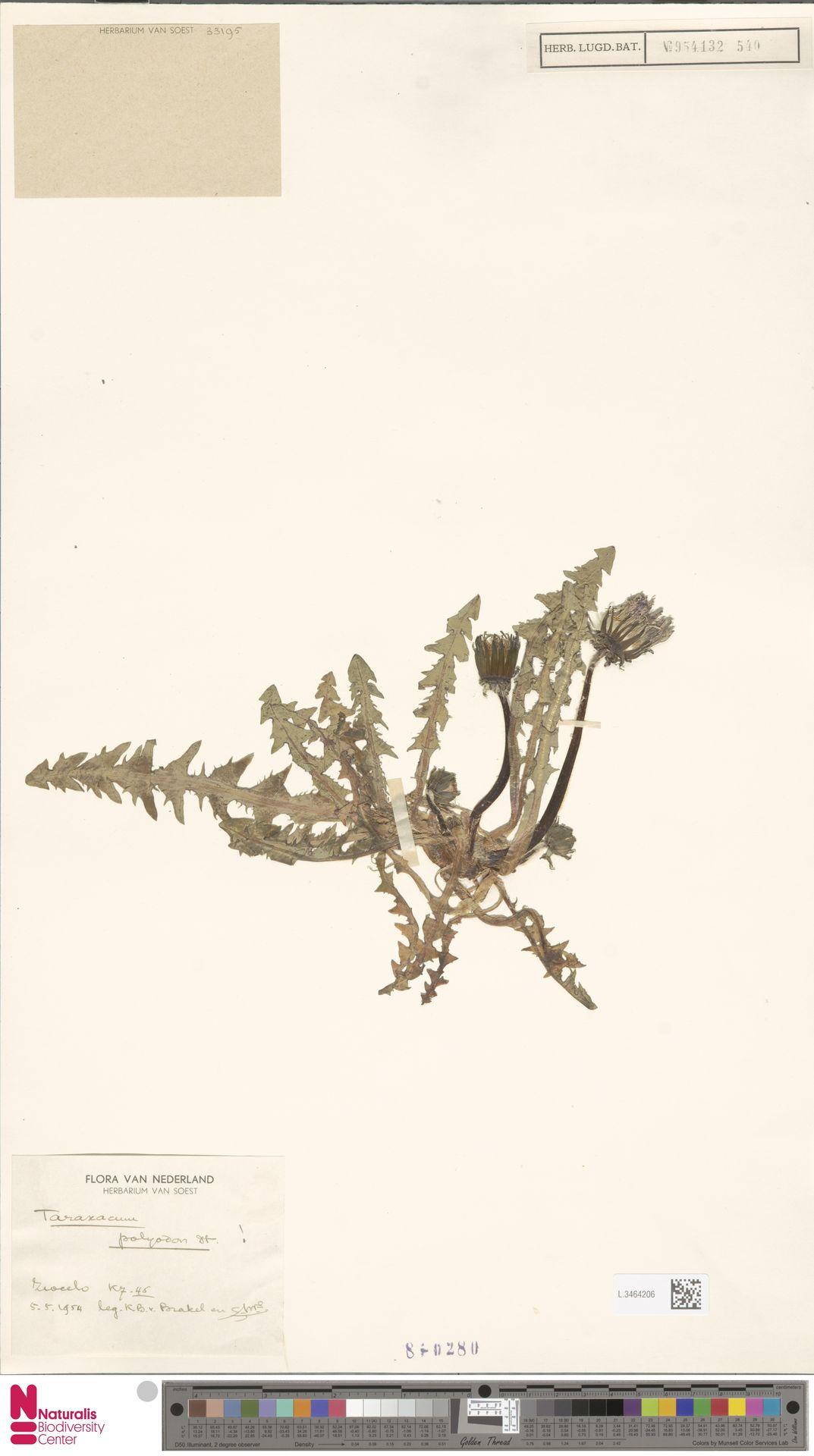 L.3464206 | Taraxacum polyodon Dahlst.