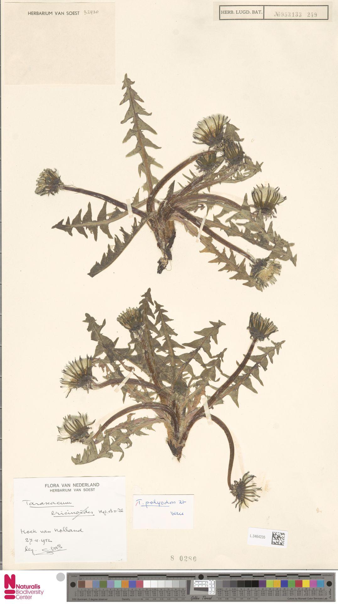 L.3464235 | Taraxacum polyodon Dahlst.