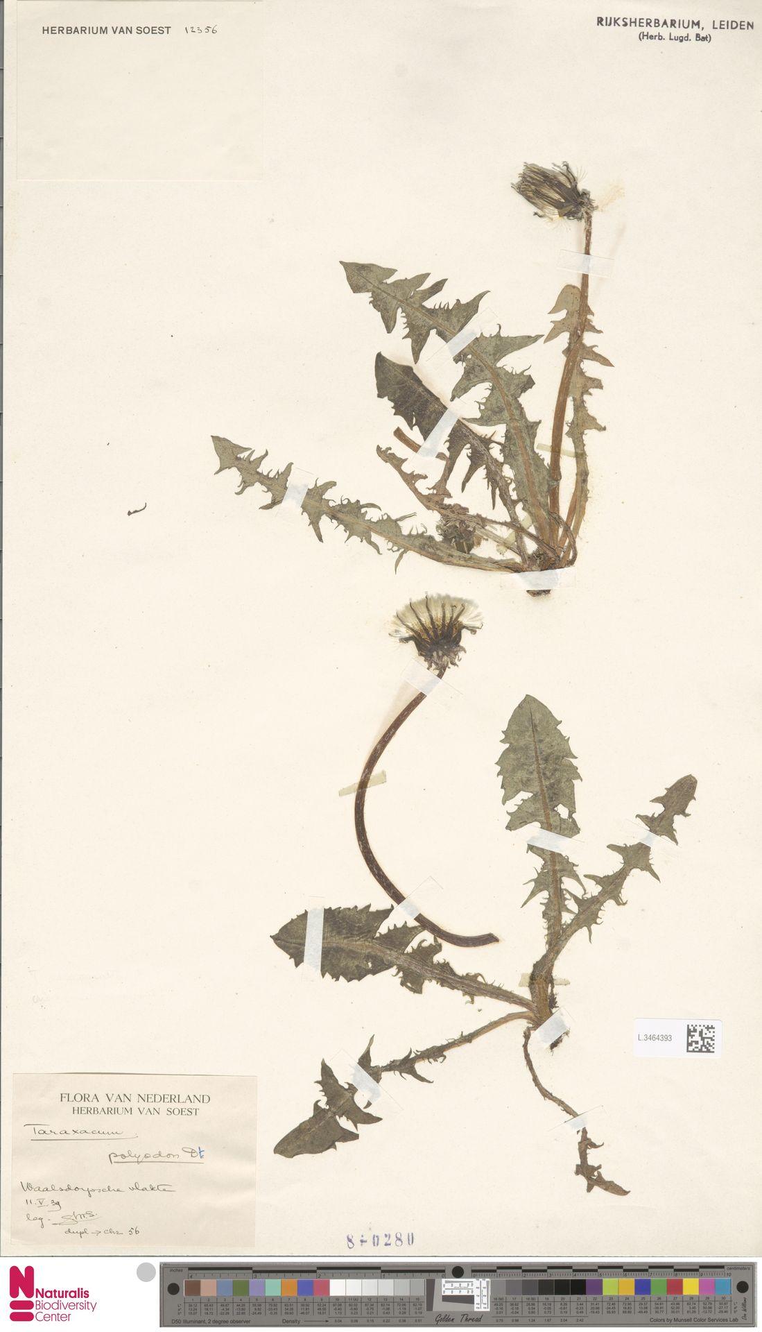 L.3464393 | Taraxacum polyodon Dahlst.
