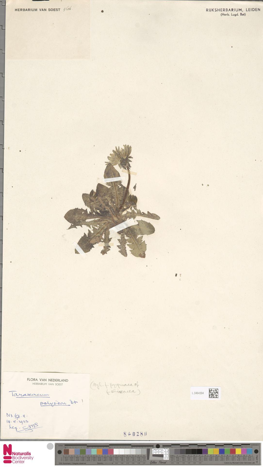L.3464394 | Taraxacum polyodon Dahlst.