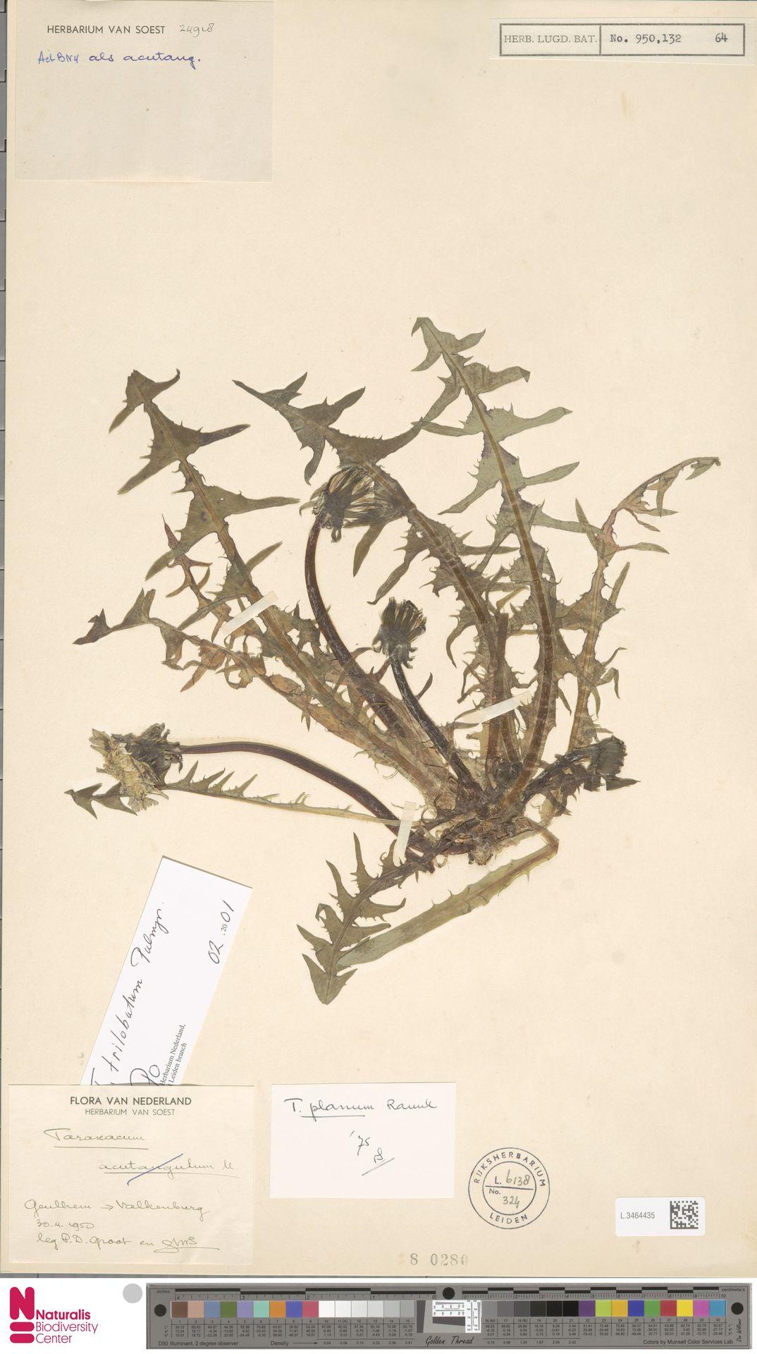L.3464435 | Taraxacum planum Raunk.