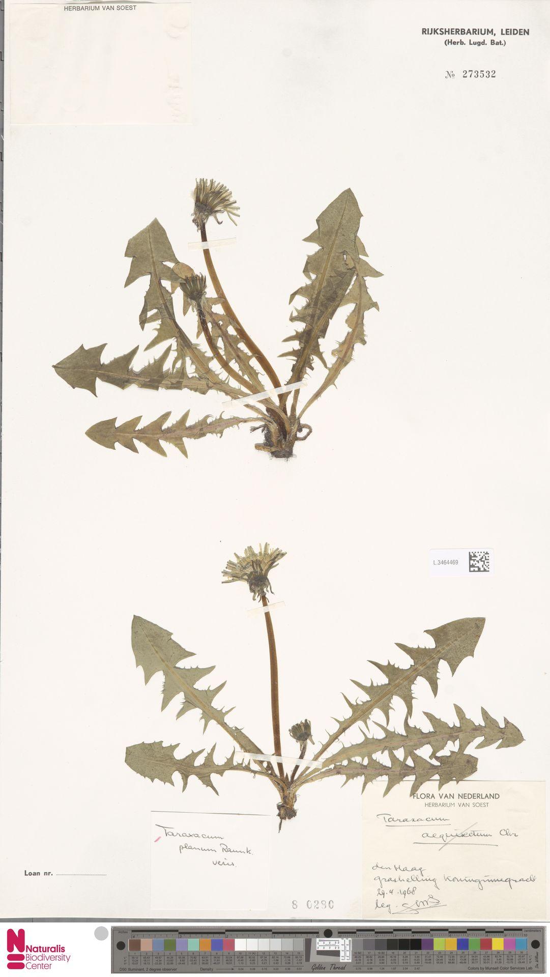 L.3464469 | Taraxacum planum Raunk.