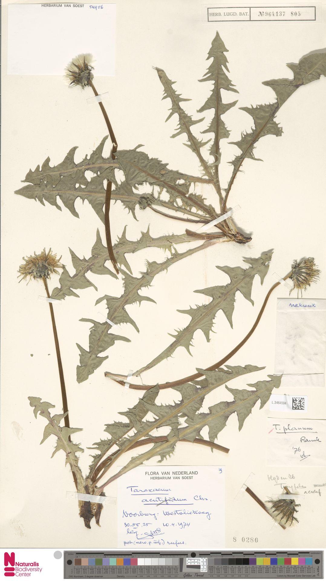 L.3464504 | Taraxacum planum Raunk.