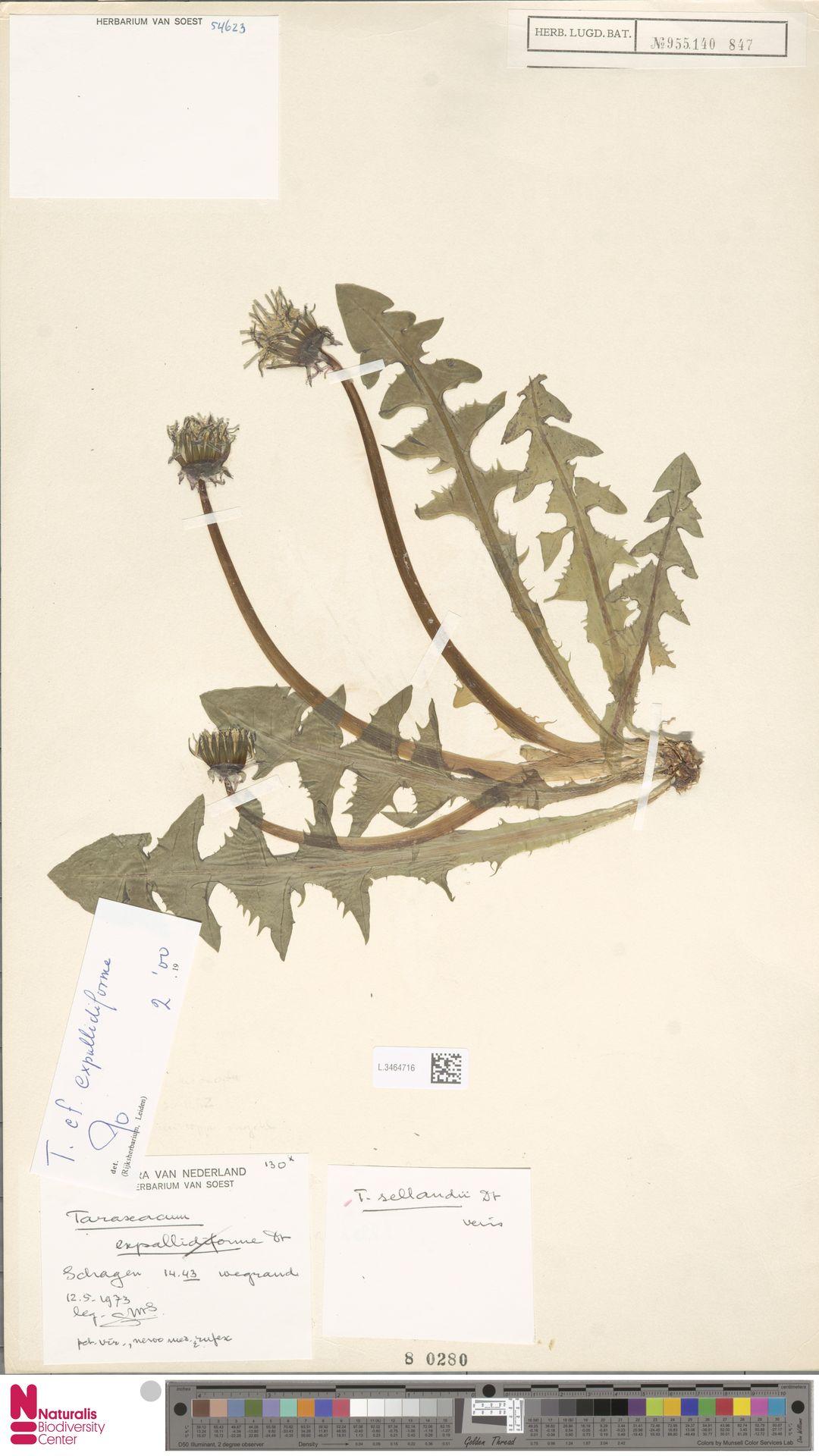 L.3464716 | Taraxacum vulpinum Soest