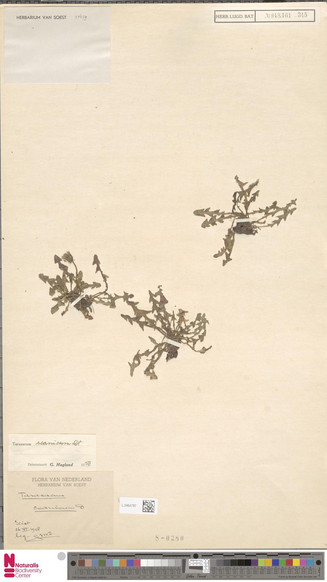 L.3464797   Taraxacum scanicum Dahlst.