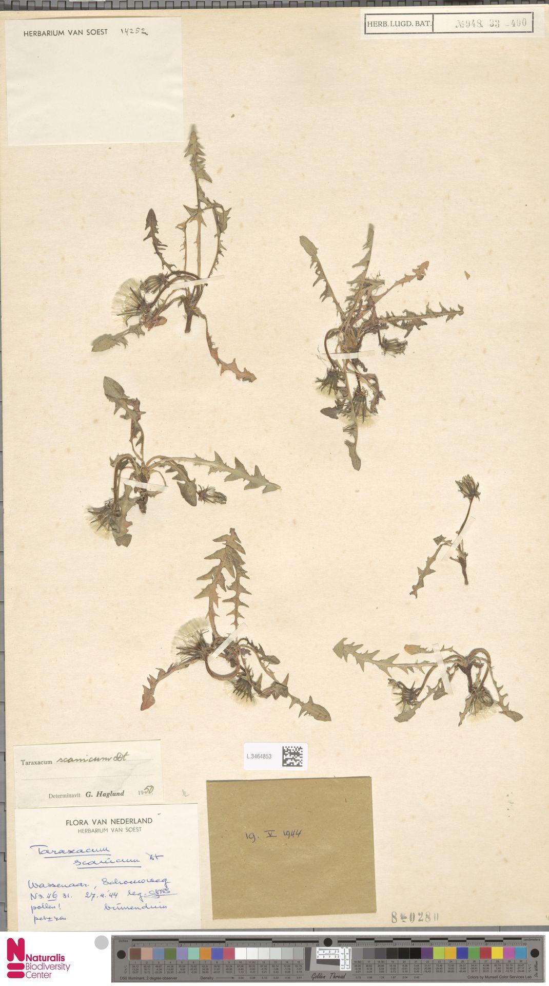 L.3464853   Taraxacum scanicum Dahlst.