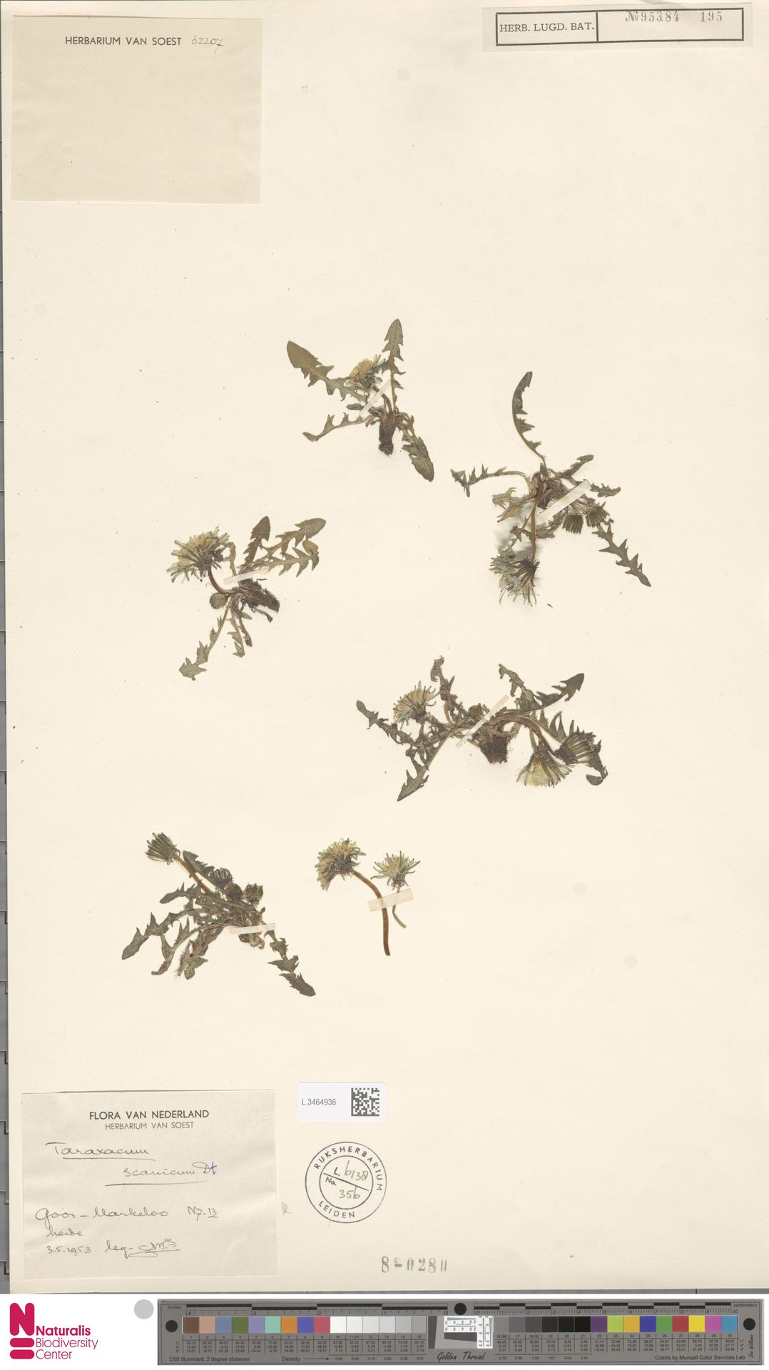 L.3464936   Taraxacum scanicum Dahlst.