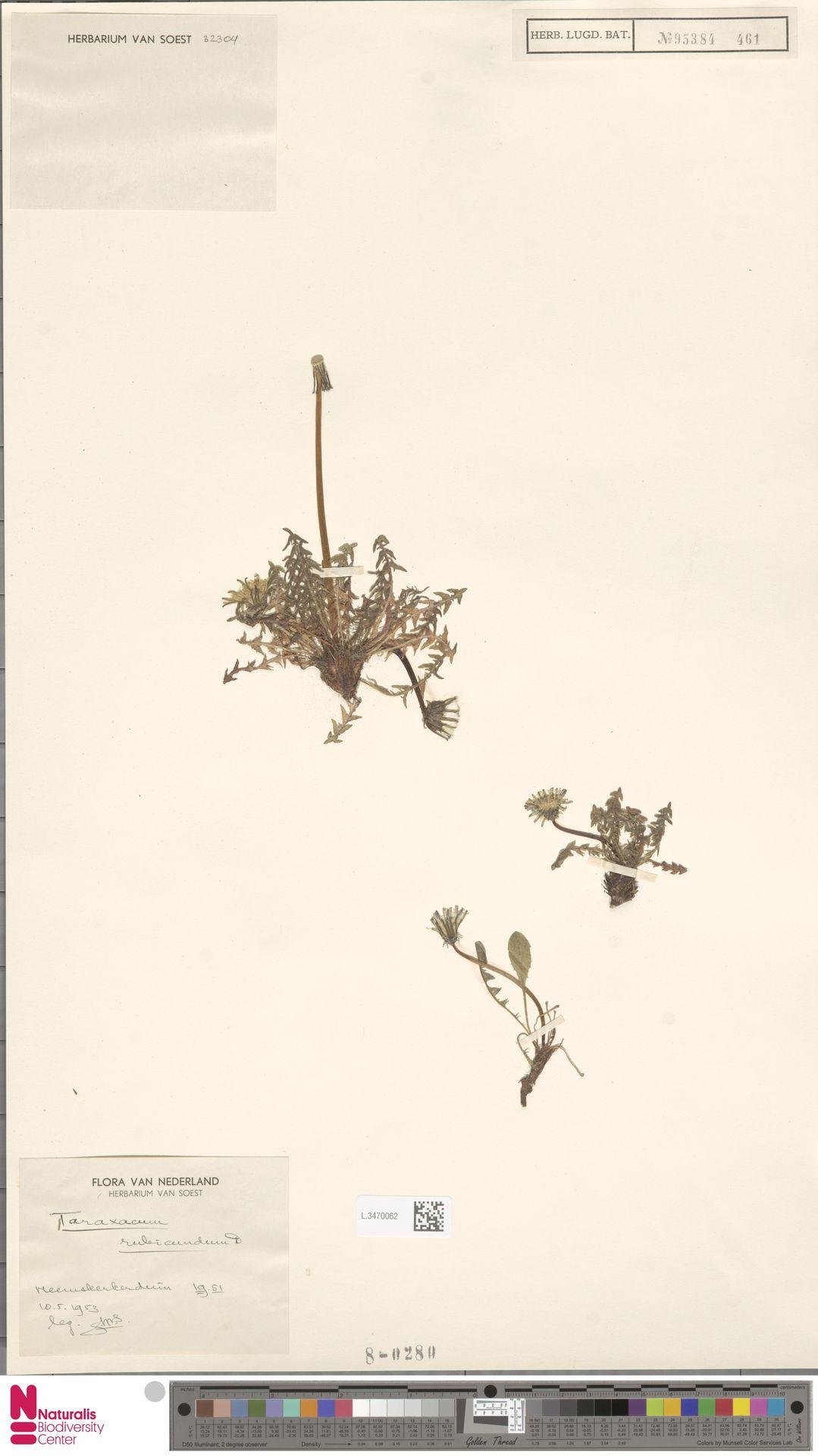 L.3470062 | Taraxacum rubicundum Dahlst.