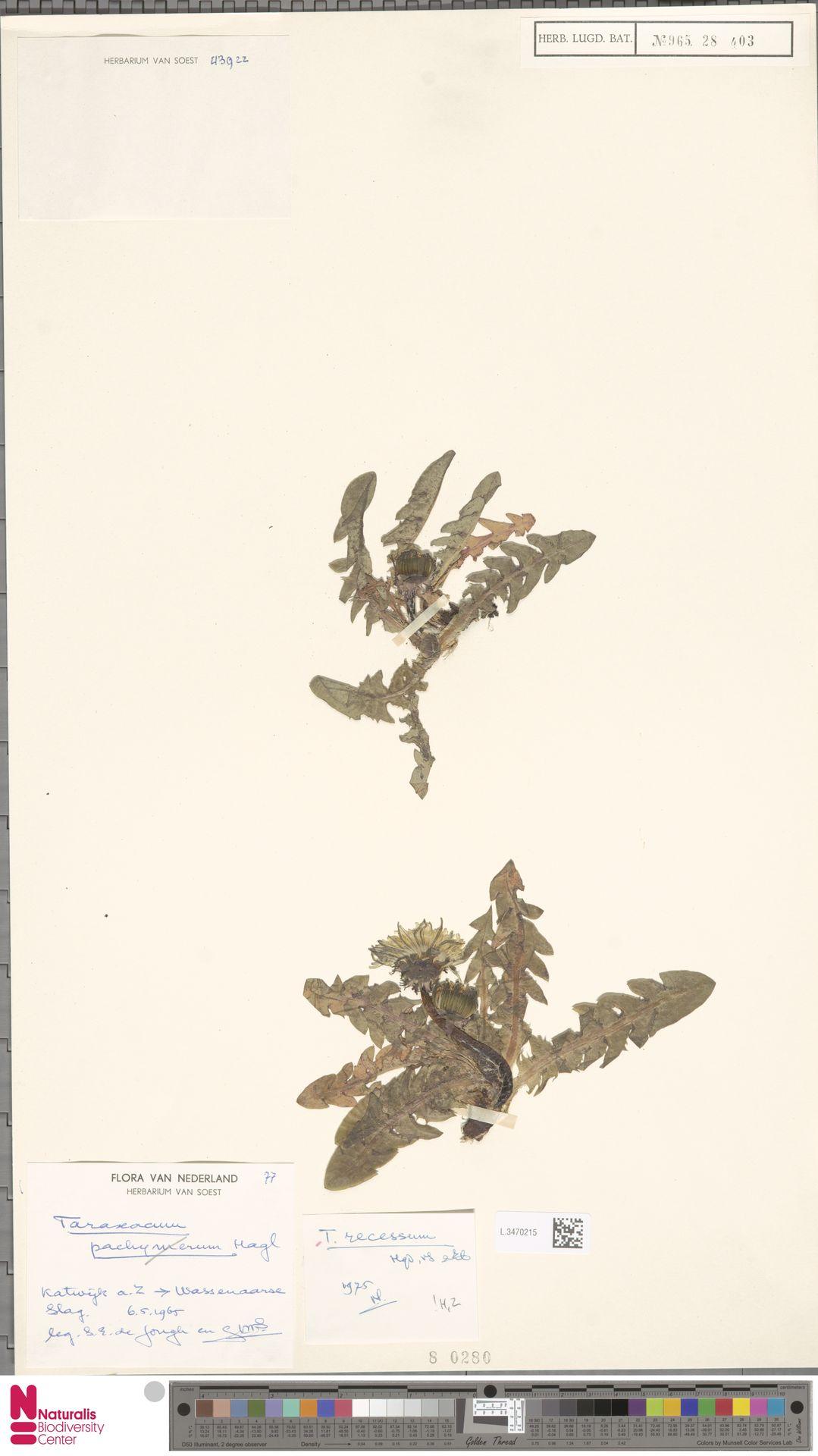 L.3470215   Taraxacum recessum Hagend., Soest & Zevenb.