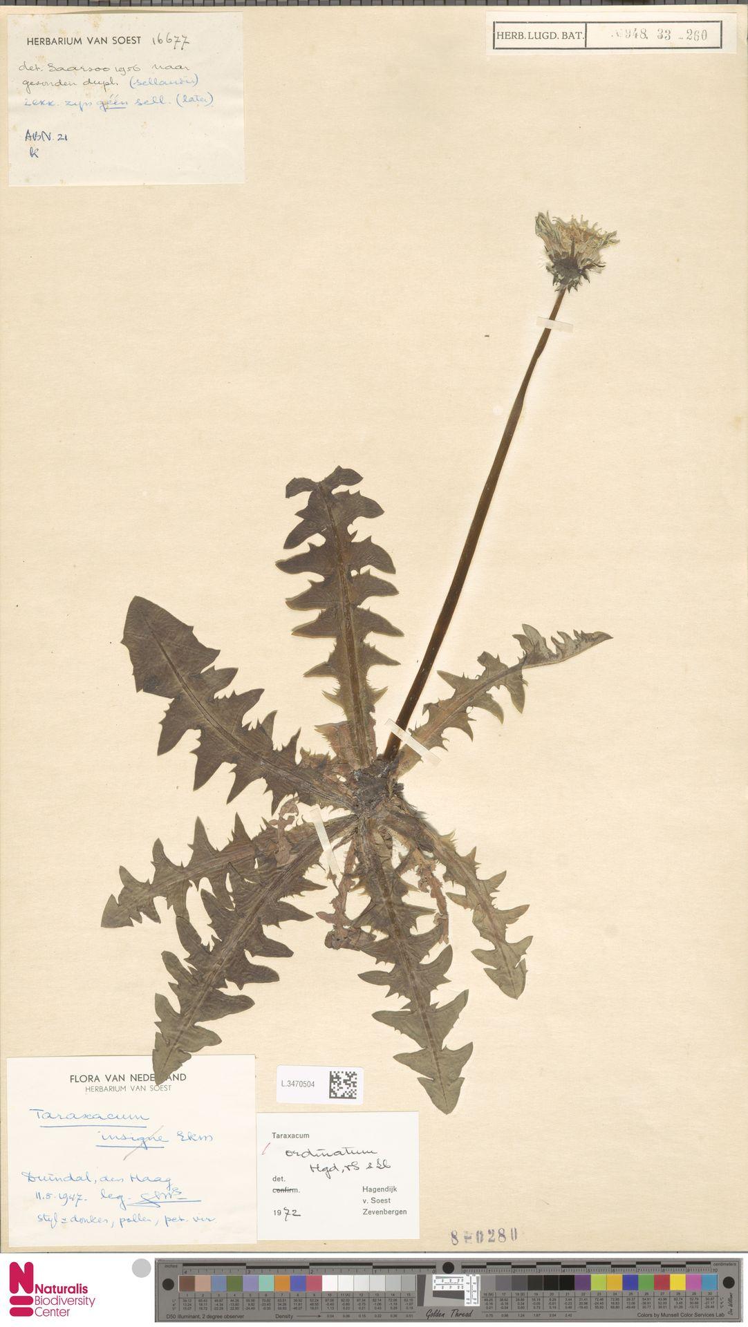 L.3470504   Taraxacum ordinatum Hagend., Soest & Zevenb.