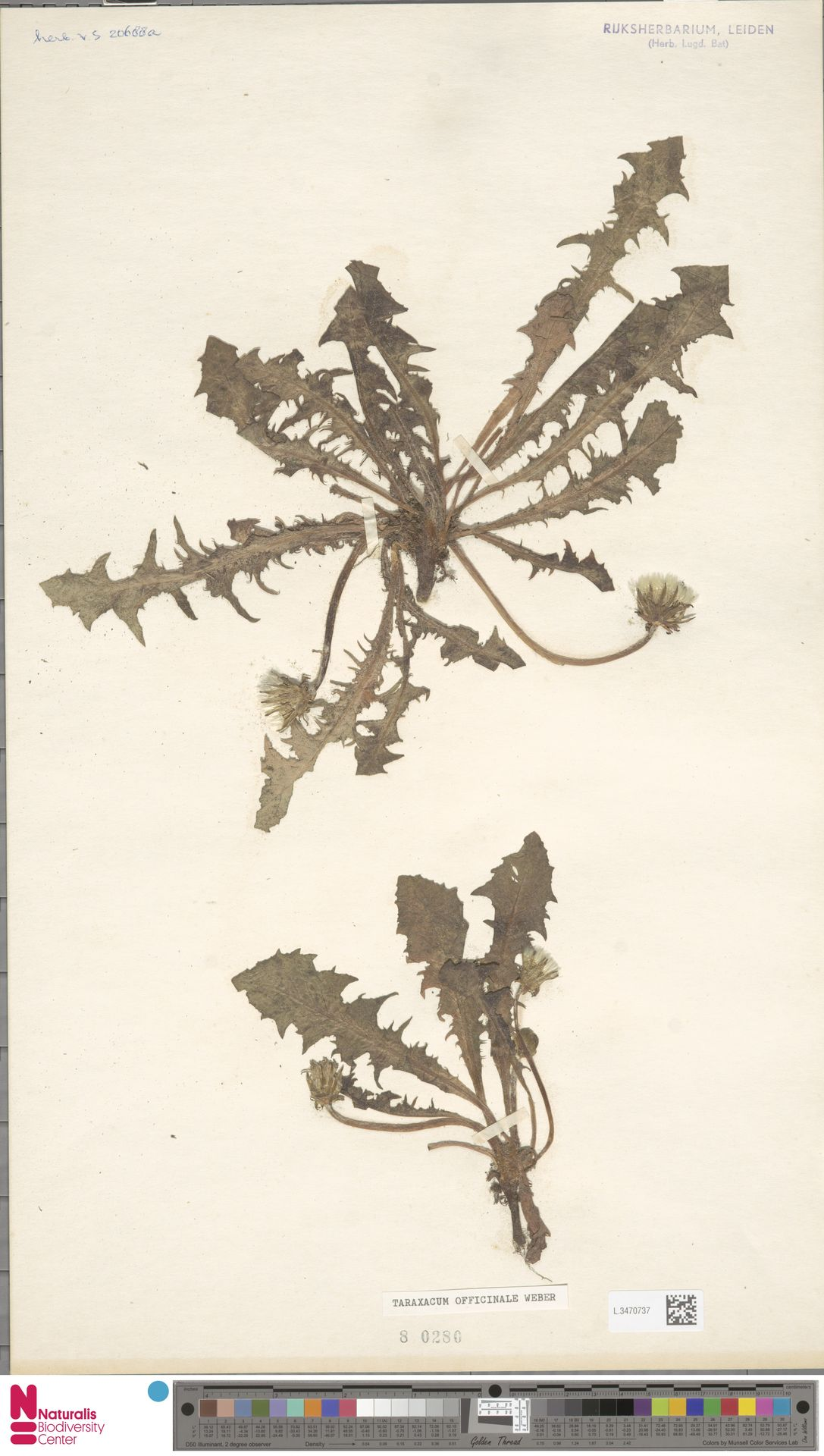 L.3470737 | Taraxacum officinale F.H.Wigg.
