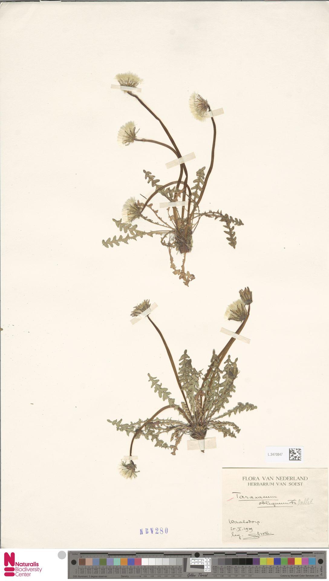 L.3470847 | Taraxacum obliquum (Fr.) Dahlst.