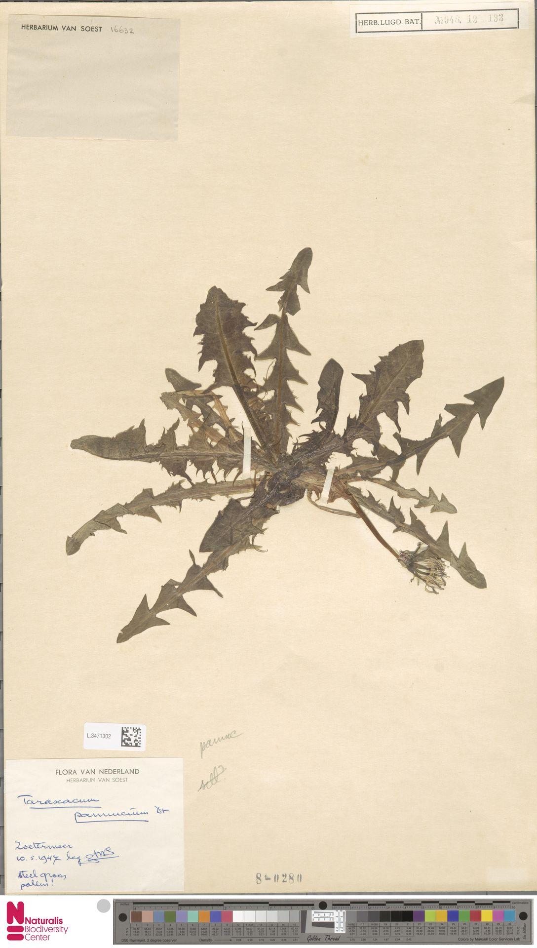 L.3471302   Taraxacum pannucium Dahlst.
