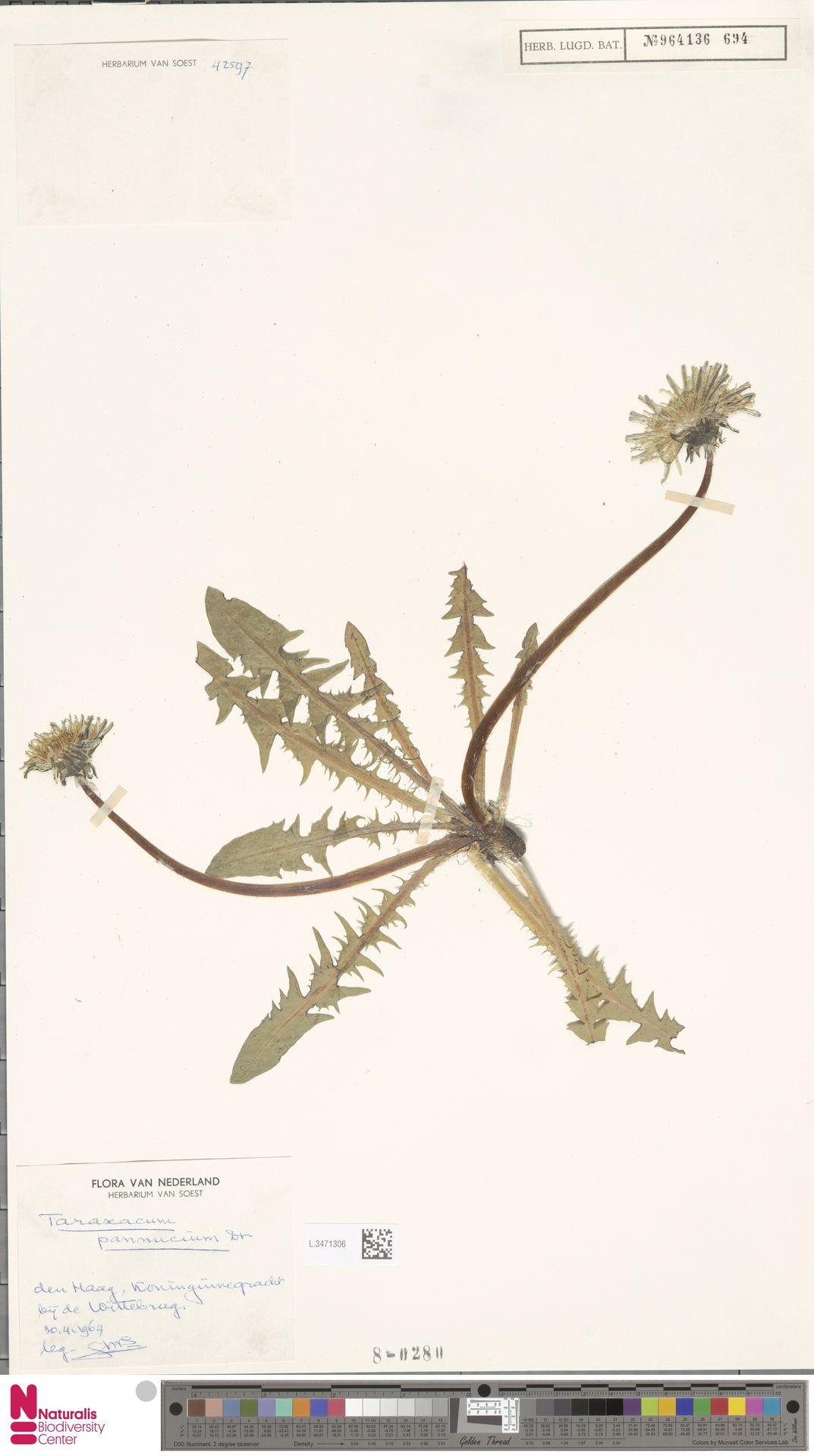 L.3471306 | Taraxacum pannucium Dahlst.