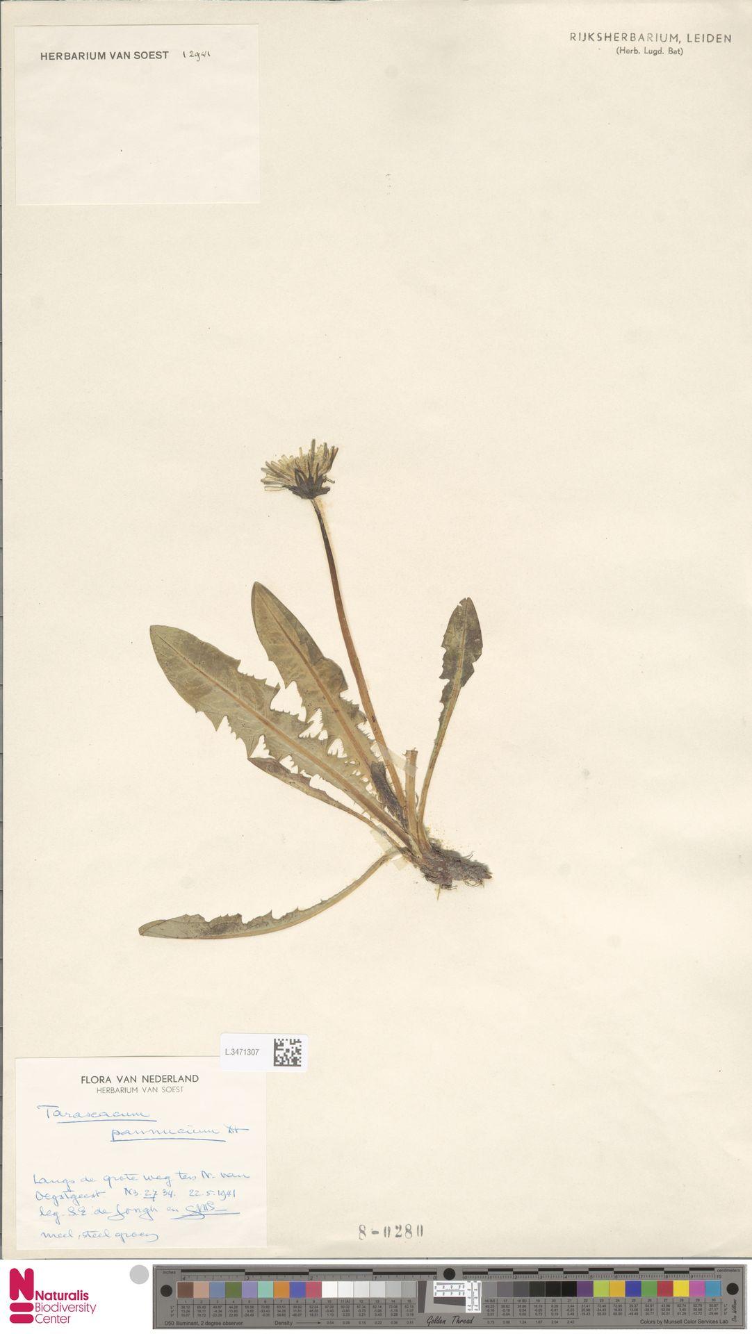 L.3471307 | Taraxacum pannucium Dahlst.