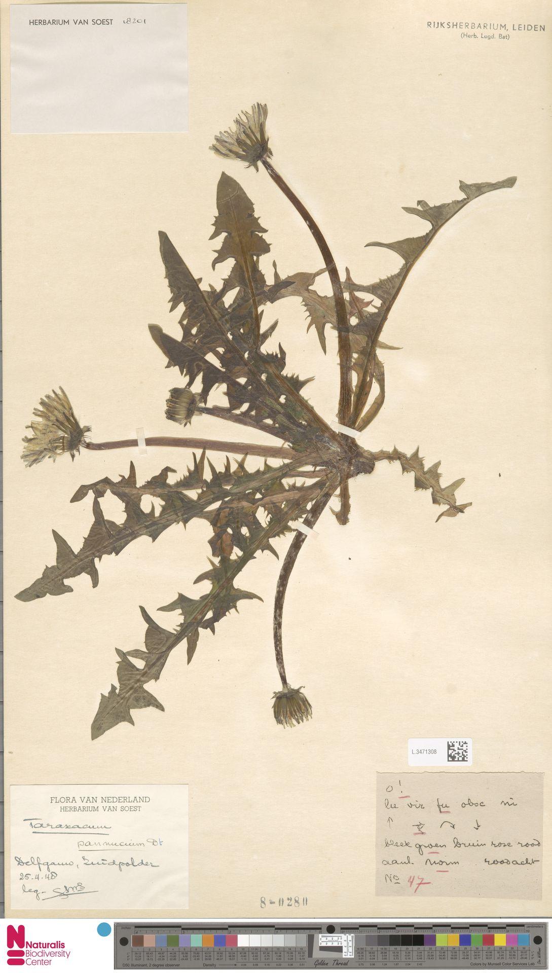 L.3471308 | Taraxacum pannucium Dahlst.