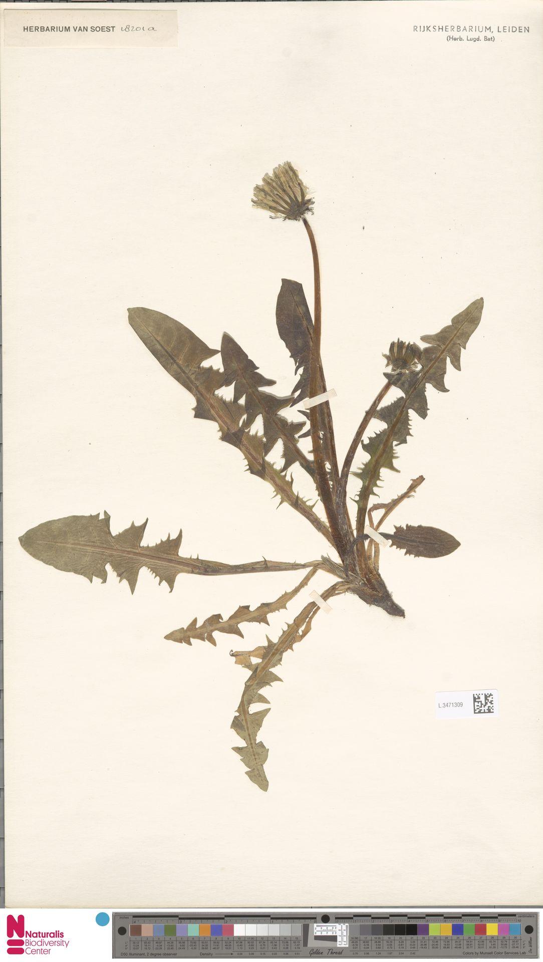 L.3471309   Taraxacum pannucium Dahlst.