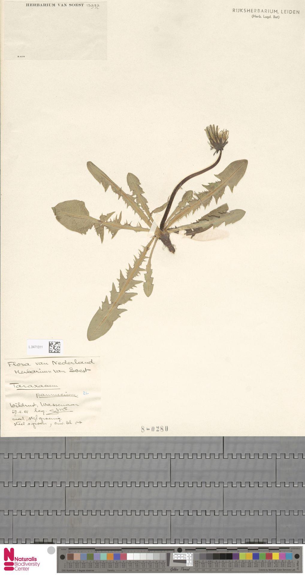 L.3471311 | Taraxacum pannucium Dahlst.
