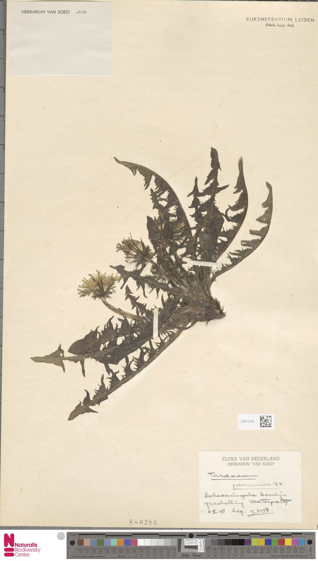 L.3471313 | Taraxacum pannucium Dahlst.