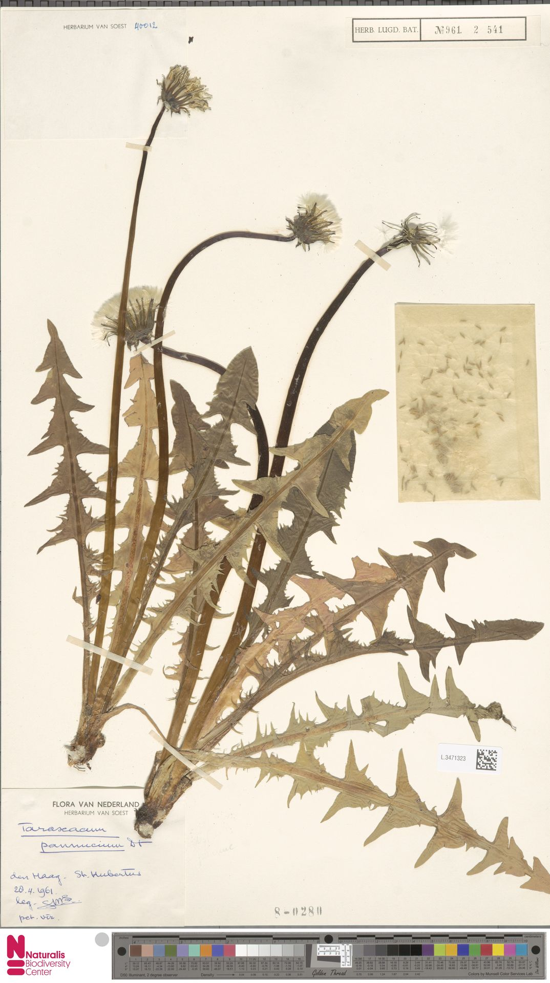 L.3471323 | Taraxacum pannucium Dahlst.