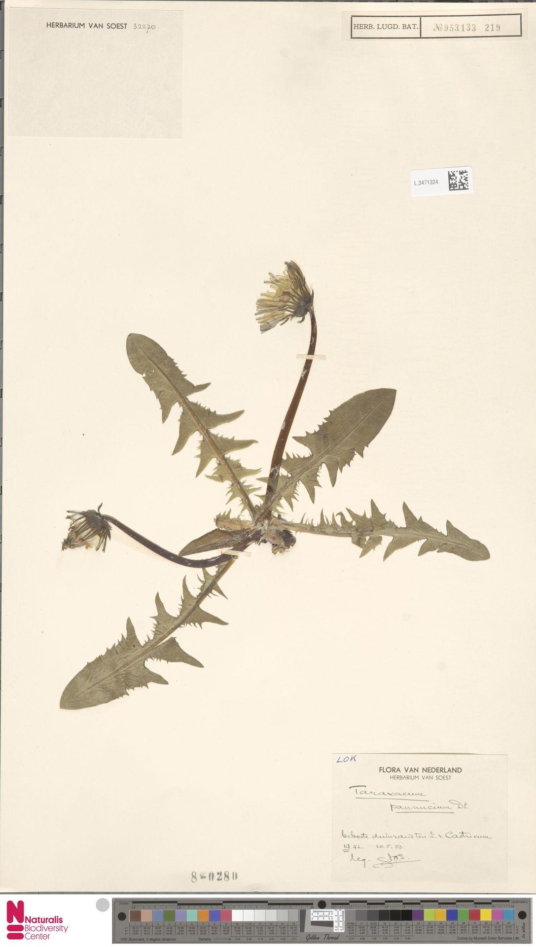 L.3471324 | Taraxacum pannucium Dahlst.