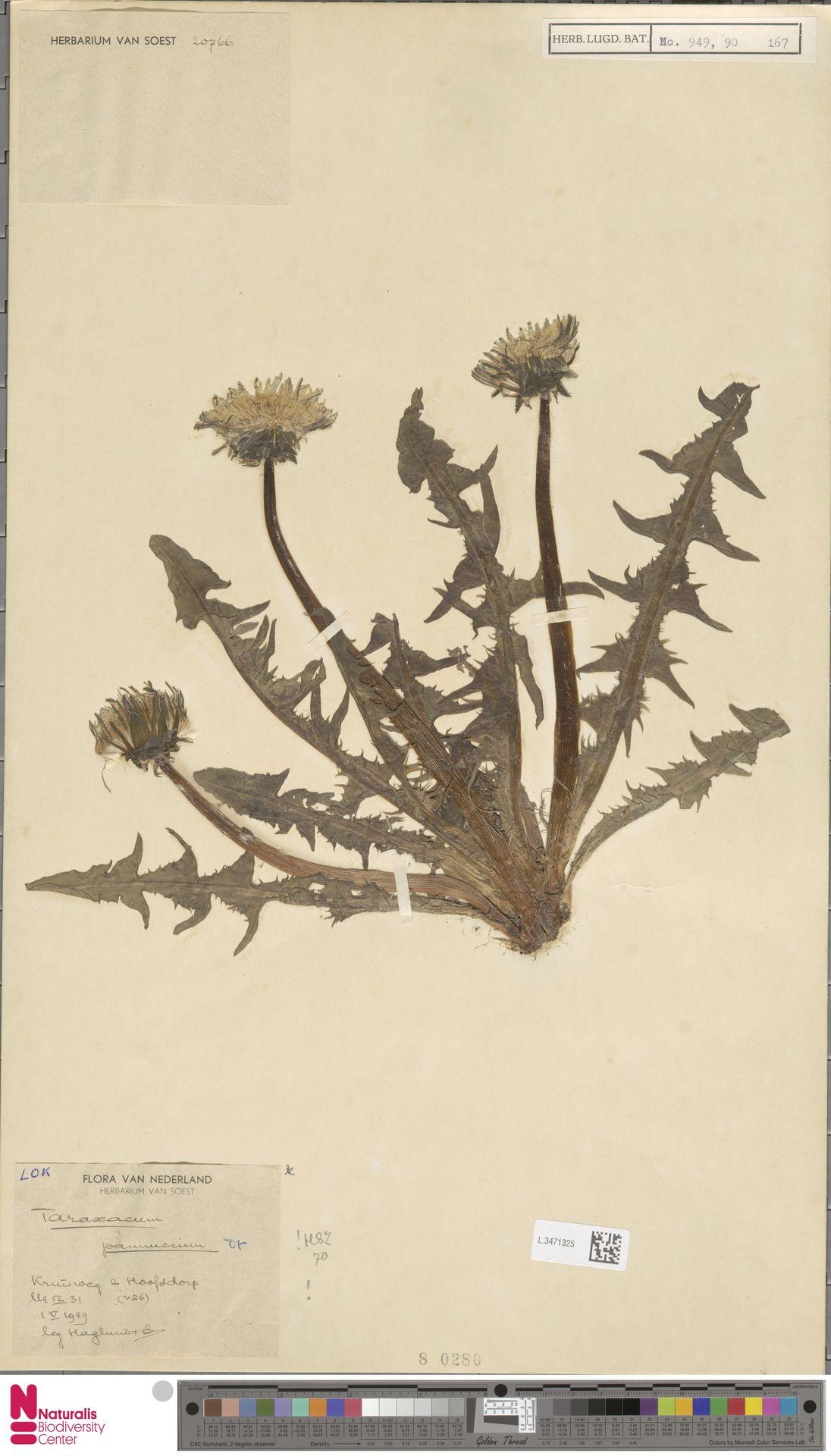 L.3471325   Taraxacum pannucium Dahlst.